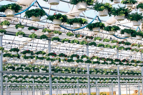 In this photo featured in the 2019 Agricultural Views calendar, Corey Goetsch captured these hanging baskets filling the rafters of a retractable greenhouse at Lucas Greenhouses in Monroeville, N.J.